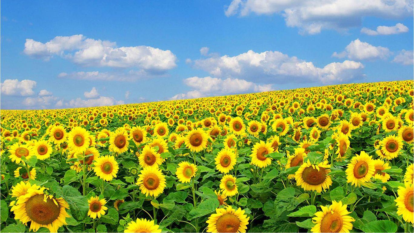 壁纸 成片种植 风景 花 植物 种植基地 桌面 1366_768